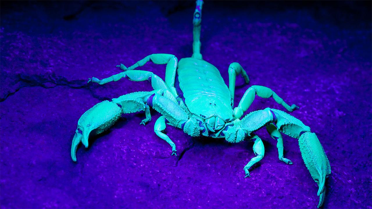 Perch gli scorpioni sono fluorescenti agli uv e potrebbe - Scorpione e capricorno a letto ...